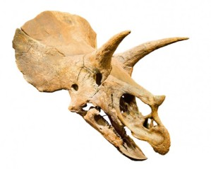 triceratops-horn